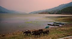 Cows at Phewa Lake in Pokhara, Nepal (CamelKW) Tags: nepal sunset lake cows pokhara phewa 2016 everestpanoram