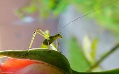 Ugrsra kszen (Van'elise) Tags: fauna termszet bogarak lvilg miniszcske