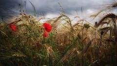 schlechtes Wetter, roter Mohn (Michael Geran) Tags: rot cereals mohn getreide