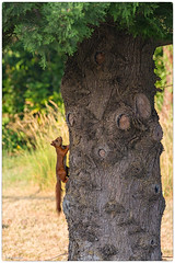 vertical (Paloudan) Tags: animaux cureuil squirrel
