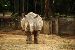 Zo de Sapucaia do Sul (R. Spolidoro) Tags: zoo macaco tigre urso onca rinoceronte hipopotamo zoologico sapucaia