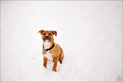 Snow boy (i ea sars) Tags: camera winter portrait rescue dog chien pet white snow cold slr film co nature face look 35mm garden puppy landscape 50mm illinois mutt mixed mix midwest sitting fuji asahi pentax k1000 shepherd superia hiver nieve pitbull perro hund 200 sit fujifilm invierno breed shelter adopted adopt zima whiteout gos rescued pes  petrait fujicolor superia200  f17   highqualitydogs