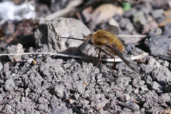 P1010318 Large Bee Fly - Bombylius major_ 26-03-2012 Laurel Cottage (rodtuk) Tags: uk england nature insect worcestershire a1 lc phototype inkberrow laurelcottage