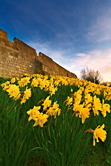 York Daffodils In The Breeze (mark_mullen) Tags: york uk flowers england plants english evening town spring movement wind historic citywalls british blueskies breeze daffodils defences northyorkshire mediaeval battlements canon1740f4 canon1dsmkii lordmayorswalk barwalls gillygate northriding yorkstjohnuniversity markmullenphotography