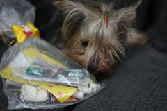 Mel (Mari Assmann) Tags: dog 50mm yorkshire mel terrier cachorro f18 fmea sooc 450d canonxsi