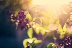 sunbeam catching far away (Maegondo) Tags: sunlight green nature yellow backlight contrast canon eos 50mm soft dof purple sundown bokeh 14 depthoffield farewell romania dreamy vanilla hazy leafs tones sunbeam creamy arad gegenlicht schrfentiefe 5dmarkii