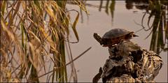 03.26.2012 :: 366/86 (Echo9er) Tags: photography nikon wildlife nikkor outandabout 2012 tacomawa project365 mar12 takeitoutside wapatolake mostly365 nikond300s 20120326 70300zoomf3556 turtlesandlogsandwater