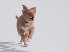 Vilma (AnDDDre) Tags: dog canon toller novascotiaducktollingretriever canon5dmark2 5dmk2