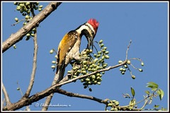 2148 flamebacked woodpecker (chandrasekaran a 530k + views .Thanks to visits) Tags: india nature birds woodpecker chennai ts flamebacked allofnatureswildlifelevel1