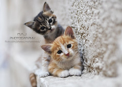 Two cats - M.A.J photography (M.A.J Photography) Tags: cats cute beautiful cat photography funny cutie maj mfcc    impressedbeauty   majphotography