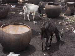 nuturing futur (k-os) Tags: brown white goat pot ghana tanning