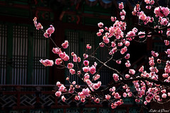 Apricot Flower in a Palace (Light of Peace) Tags: apricotflower southkoreaapricotflowersouthkorea