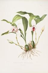 n115_w1150 (BioDivLibrary) Tags: guatemala mexico orchidaceae plants missouribotanicalgardenpeterhravenlibrary bhl:page=769231 dc:identifier=httpbiodiversitylibraryorgpage769231 taxonomy:binomial=maxillariaskinneri taxonomy:binomial=lycasteskinneri womeninscience artist:name=augustainneswithers artist:viaf=95819243 augustainneswithers q2870951 illustrator:wikidata=q2870951 hernaturalhistory