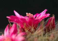Mammillaria zeilmanniana Boed. (1931) (asac_cactus) Tags: mammillaria zeilmanniana mammillariazeilmanniana