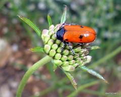 Ameisen-Sackkäfer (Clytra laeviscula) (HITSCHKO) Tags: france frankreich aude käfer minervois canaldumidi languedocroussillon hérault payscathare ameisensackkäfer minervoise clytralaeviscula katherer