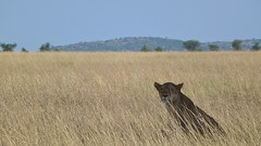 Lioness in the field (Snapped by Mat) Tags: africa tanzania lion safari serengeti lioness overland kopje tildesley