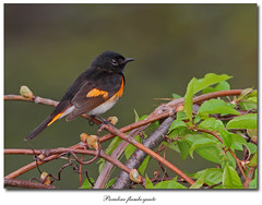 Paruline flamboyante / American Redstart IMG_2859 (salmo52) Tags: birds oiseaux americanredstart setophagaruticilla parulineflamboyante oiseauxquébec quebecbirds salmo52 alaincharette