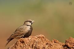 Ashy Crowned Sparrowlark (itsrbtime) Tags: india nature birds nikon wildlife bangalore sigma lark d90 greatnature ashycrownedsparrowlark nikond90 sparrowlark sigma120400 sigma120400oshsm rijubhattacharya itsrbtime
