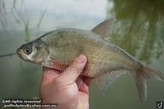 Bream - Abramis brama (puffinbytes) Tags: greatbritain england animals unitedkingdom carps bream essex animalia minnows cyprinidae cypriniformes chordates chordata actinopterygii rayfinnedfishes abramis abramisbrama taxonomy:kingdom=animalia taxonomy:phylum=chordata taxonomy:class=actinopterygii taxonomy:family=cyprinidae taxonomy:order=cypriniformes leuciscinae spb:country=uk spb:id=01f5 spb:species=abramisbrama spb:pty=f taxonomy:subfamily=leuciscinae taxonomy:genus=abramis taxonomy:species=brama taxonomy:binomial=abramisbrama taxonomy:common=bream spb:lid=00by spb:pid=0kja