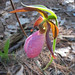 "Pink ""Lady Slipper"" wild orchid. Photo: Stuart Delman, Chestertown NY."