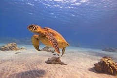 turtles (bluewavechris) Tags: ocean life blue shadow sea brown green nature water animal coral swim canon hawaii sand marine underwater snorkel turtle reptile wildlife bottom dive shell maui housing honu creature flipper 1022 seasea freedive t1i