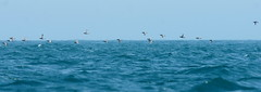 Sea skimming! (SteveJM2009) Tags: uk sea sky flying spring focus waves dof group flight may dorset swanage 2012 stevemaskell guillemot skimming uriaaalge durlston explored