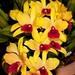"Lc. Gold Digger ""Orchid Jungle"" - Alex Nadzan"