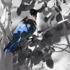 (desertdreams_ru) Tags: california blue trees birds desert bluejay colorsplash teamrebel