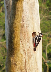Male Greater Spotted Woodpecker (rowanlea51) Tags: