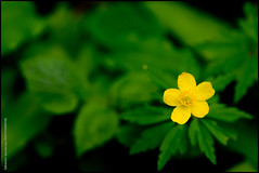 Anmone Jaune (Sebastien J.) Tags: nature flickr franchecomt flore anmone doubs sonyalpha550
