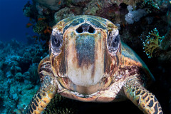 Happy birthday :) (Martin-Klein) Tags: blue portrait face closeup turtle redsea wideangle diving cheloniamydas greenturtle nostrils