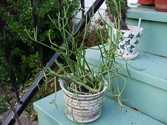 Kleinia (hopefulauthor) Tags: summer cactus foliage plantpots kleinia