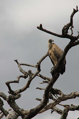 Vulture (jnyaroundtheworld) Tags: africa animals tanzania wildlife lion ngorongoro crater zebra giraffe massai serengeti animaux girafe afrique faune zbre tanzanie greatmigration wetseason manyaralake ndutu felins masa lacmanyara saisondespluies grandemigration