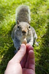 Delicacy (agruszka21) Tags: park green london grass animal squirrel hand feeding pentax nuts k3 pentaxart thepinnaclehof kanchenjungachallengewinner tphofweek272