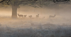 A Memory of Spring (Chaitanya Deshpande | Photography) Tags: uk morning light mist dawn spring wildlife deer fallowdeer fallow