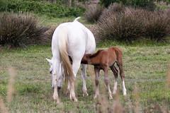Jeune poulain et sa mre (claude.guigon.photo) Tags: horse nature cheval pentax provence camargue poulain vigueirat maraisduvigueirat