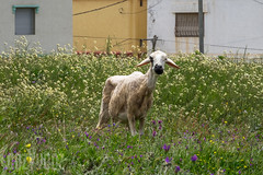 Is She Carrying a Lamb? (Sue_Hutton) Tags: rural spring morocco maroc tangier tanger