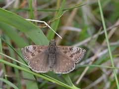Bruin dikkopje (diederickmeinen) Tags: vlinders