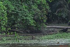 ACQUA NELLA FORESTA   ---  WATER IN THE FOREST (Ezio Donati) Tags: africa flowers trees verde green nature water animals alberi danger river rainforest fiume natura fiori acqua animali pericolo camerun forestapluviale nikond700 mefouarea