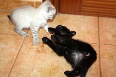 Gata Pucca (12) (adopcionesfelinasvalencia) Tags: gata pucca
