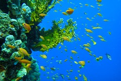 Colorful World (fxdx) Tags: colorful underwater reef fish red sea el quseir diving scuba