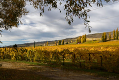 Under the Shadow of the Tree (Jocey K) Tags: autumn trees newzealand sky cloud landscape shadows hills autumncolours southisland centralotago grapevines bannockburn trres tripdownsouth bannockbraeestatevineyard