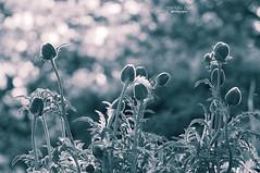 waiting time (mariola aga) Tags: flowers plants monochrome garden dof bokeh tint buds chicagobotanicgarden glenco thegalaxy