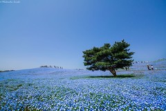 4.5 Million Baby Blue Eyes Just Bloomed In Japans Hitachi Seaside Park And I Shot Them (jh.siesta) Tags: park blue baby seaside eyes shot just million them hitachi bloomed japans