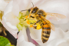 (Emil Sjberg) Tags: light sunset color macro animal canon lite bright twin bee tiny mt24ex 600d