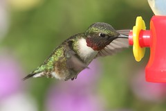 Ruby-throated Hummingbird (Archilochus colubris) (Steve Byland) Tags: bird nature canon hummingbird 7d rubythroated markii archilochus colubris