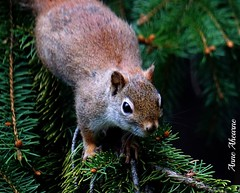 Red Squirrel in Spruce Tree (--Anne--) Tags: trees red tree cute nature animals pine squirrel squirrels wildlife spruce animalplanet
