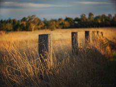 Golden grass_c (gnarlydog) Tags: sunset grass rural bokeh australia swirly fencepost fenceline adaptedlens cinelens kodakanastigmat63mmf27 vintagelenseffect