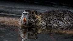 Nutria Myocastor coypus (hardy-gjK) Tags: red reflection nature water river nikon wasser gallery superb wildlife teeth ngc 600 simply fluss spiegelung natures nutria biberratte nikonflickraward nikorlenth