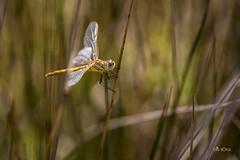 "Liblula Amarilla II ""Sympetrum fonscolombii"" (*Alphotos) Tags: natura liblula insecto alphotos sympetrumfonscolombii liblulaamarilla"